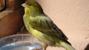 Ein Kanarienvogel.