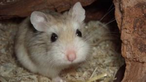 Ein Hamster (Phodopus roborovskii)