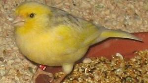 Serinus canaria f. dom. (domestizierter Kanarienvogel)