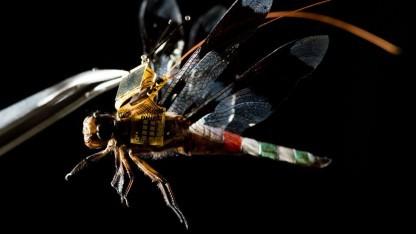 Cyborg-Libelle: Nerven durch Licht stimuliert
