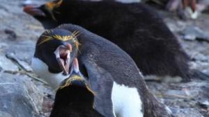 Pinguine sind vielleicht süß, aber nicht immer friedlich.