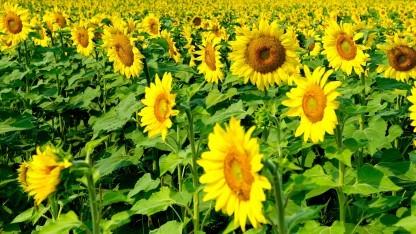 Sonnenblumen sollen den Boden reinigen.