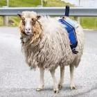 Sheep View 360: Schafe übernehmen Google Street View