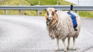 Ein Google-Street-View-Schaf