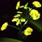 Pflanzennanobionik: MIT-Forscher lassen Pflanzen leuchten