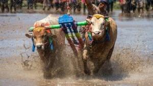 Dreckige Kühe