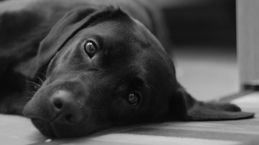 Der Labrador hat keine Lust mehr, ohne Bezahlung zu laufen.