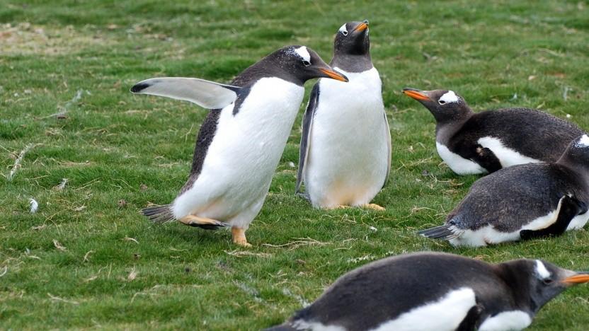 Eselspinguine, englisch Gentoo, sind Namensgeber der Linux-Distribution.
