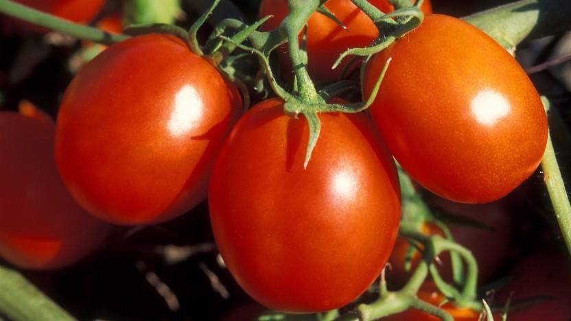Tomate: Lycopin absorbiert Licht sehr effektiv.