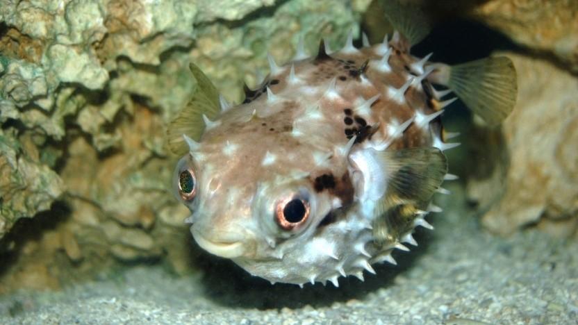Ein Kugelfisch ist das Maskottchen von OpenBSD.
