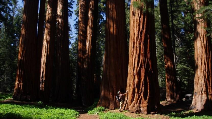Sequoias heißen auf Grund ihrer schieren Größe auf deutsch Mammutbäume.
