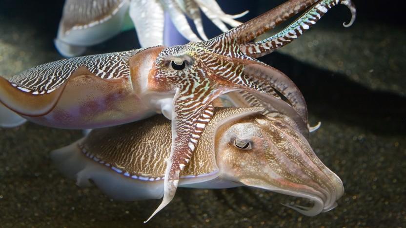 Tintenfische, auf Englisch Cuttlefish, sind das Maskottchen von Ubuntu 18.10.