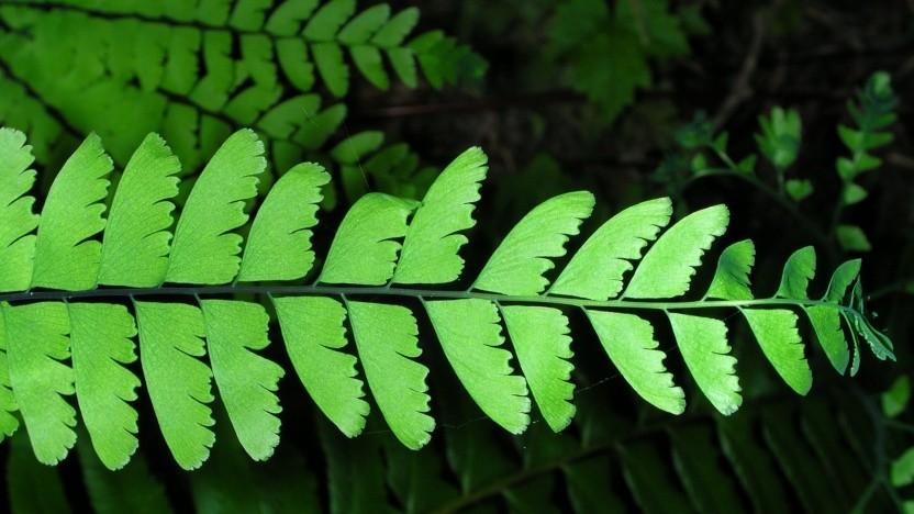 Der Name Adiantum bezeichnet eine Pflanzengattung der Farne.