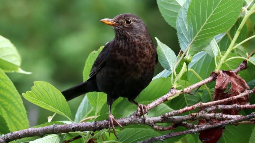 Die Amsel (englisch Blackbird) dient als Namensgeber für das neue Mainboard.