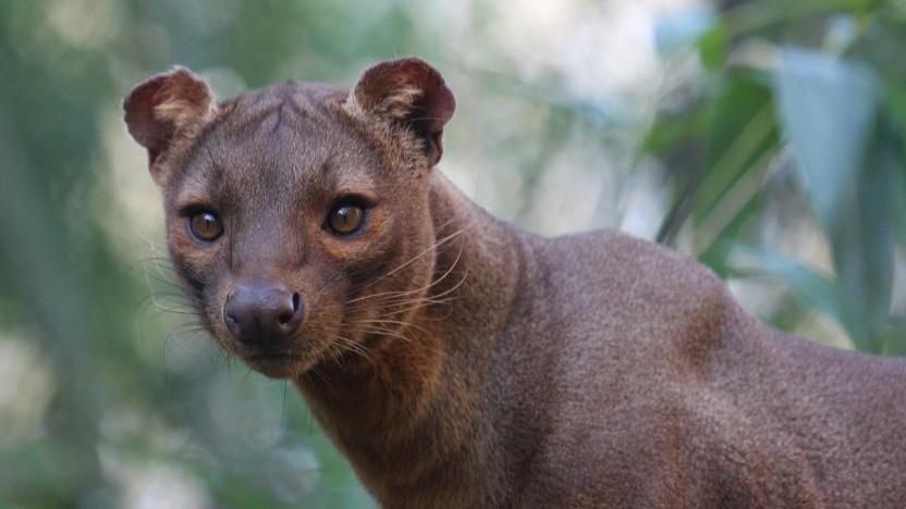 Wegen der Namensgleichheit gilt das madagassische Fossa als inoffizielles Maskottchen für das EU-Projekt.
