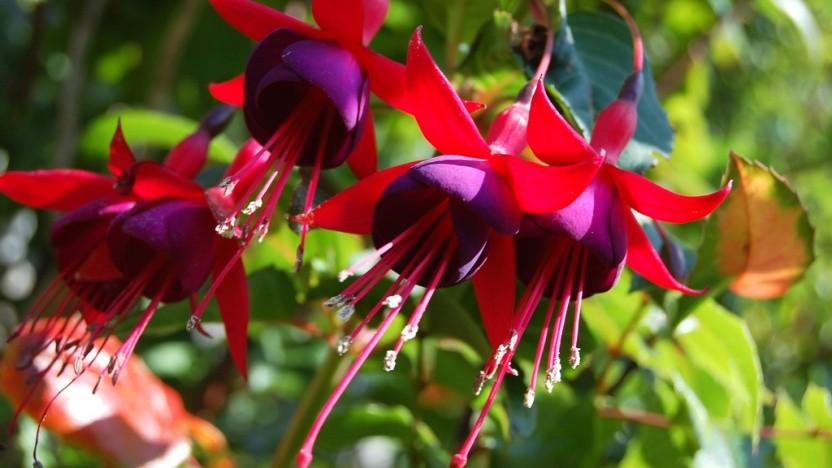 Die Blumengattung der Fuchsien dient offenbar als Namensgeber für das Betriebssystem von Google.