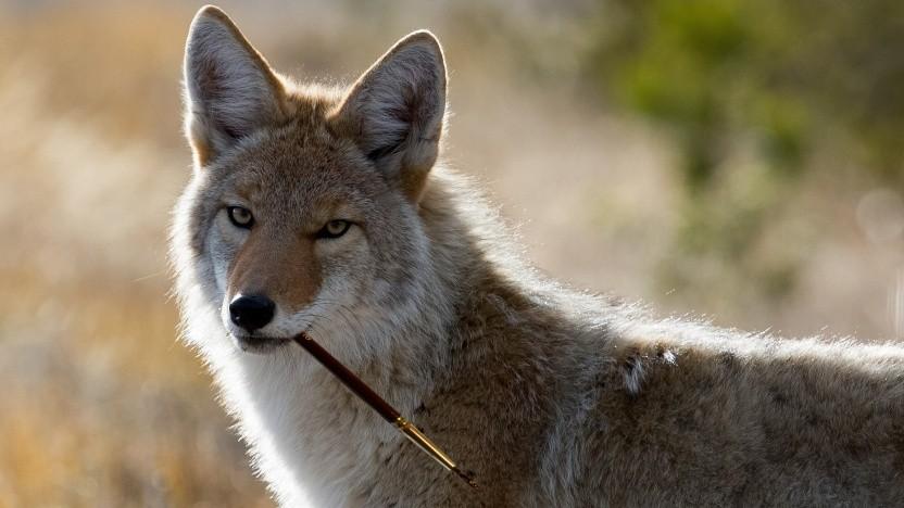 Gimp-Maskottchen Wilber - der Kojote mit dem Pinsel im Maul.