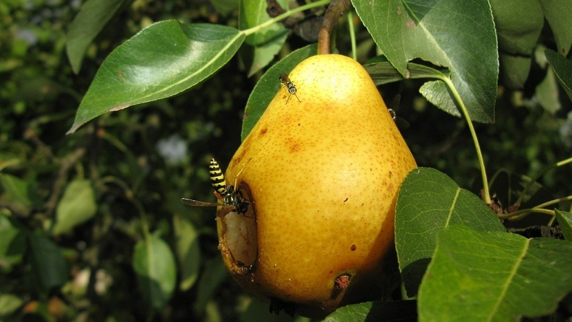 """Das Projekt Pear - was übersetzt """"Birne"""" heißt - hat wohl mit einem Hackerangriff zu kämpfen."""