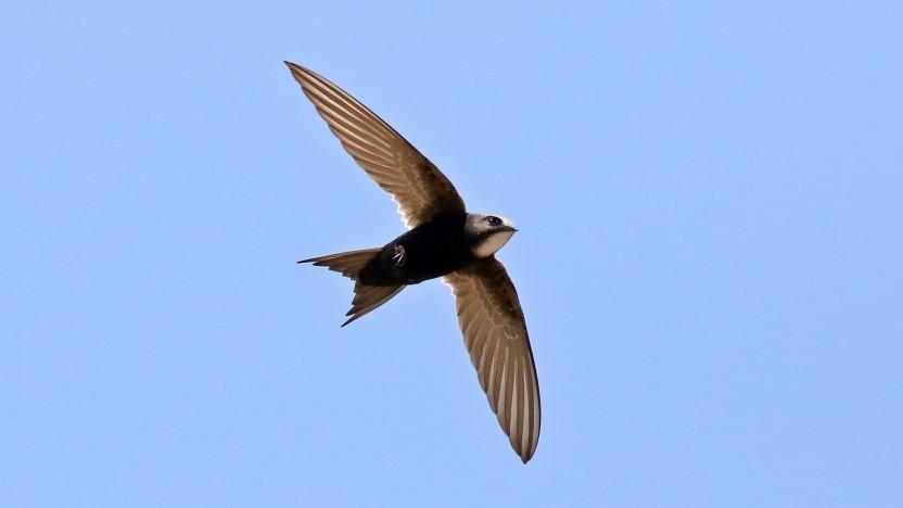 Die Programmiersprache Swift ist nach der Vogelfamilie der Segler benannt.