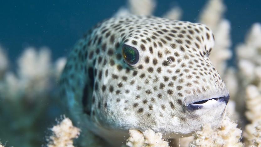 Das Maskottchen von OpenBSD ist ein Kugelfisch.