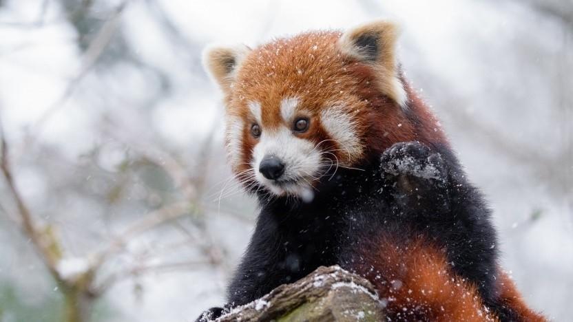 Namensgeber Kleiner Panda (Symbolbild): Das Zertifikat hätte vor Wochen erneuert werden sollen.