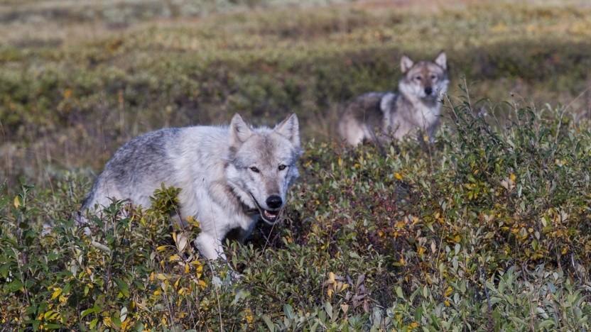 Das Logo der Sprache Wolfram ist ein Wolf.