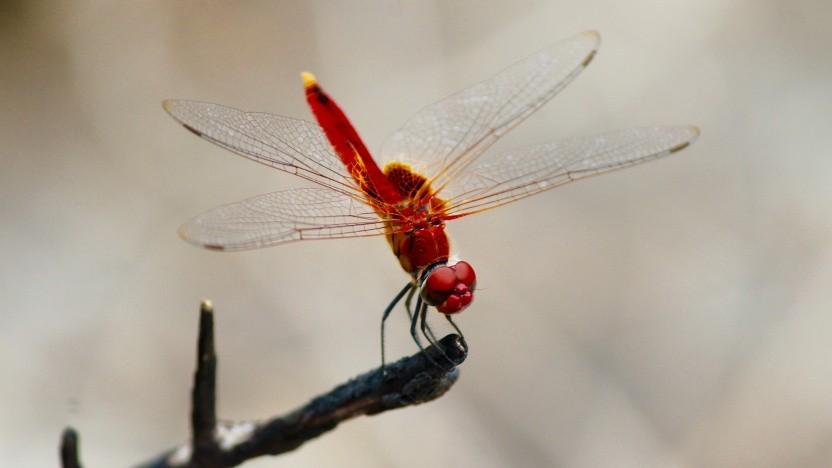 Dragonblood bei Dragonfly, der Libelle