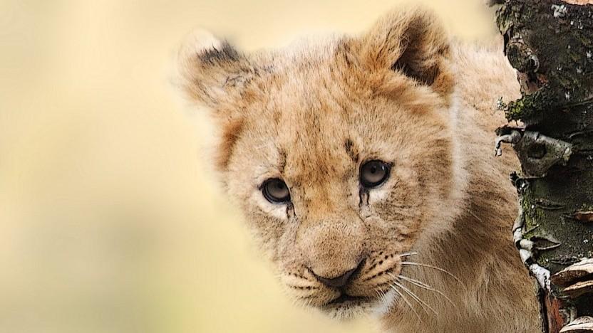 Nicht nur Löwen werden künftig auf der Jagd sein.