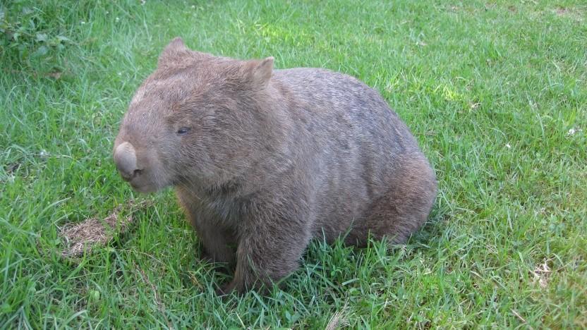 Das NPM-Maskottchen ist ein Wombat.