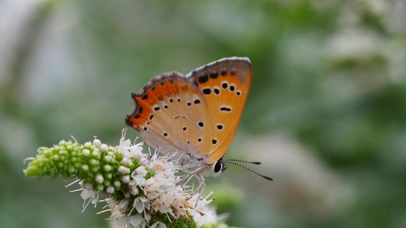 Das Maskottchen von Perl 6 ist ein Schmetterling.