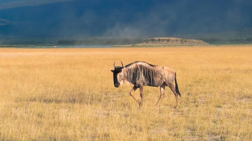 Das Maskottchen des GNU-Projekts ist ein Gnu.