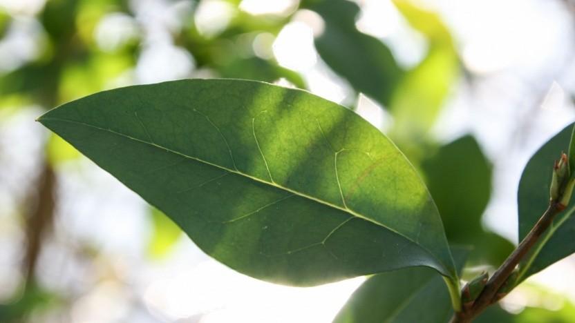 Grünes Blatt (Symbolbild): Das künstliche Blatt ist deutlich effizienter.