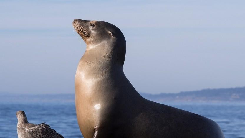 Das Maskottchen von MariaDB ist ein Seelöwe.