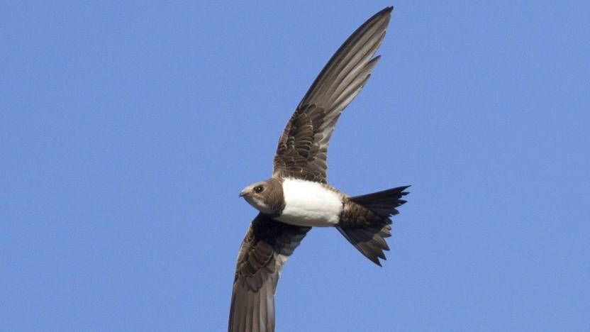 Die Programmiersprache Swift ist nach der Vogelfamilie der Segler benannt und soll auf Windows laufen.