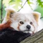 Mozilla: Firefox 77 bringt Webrender für große Laptop-Displays