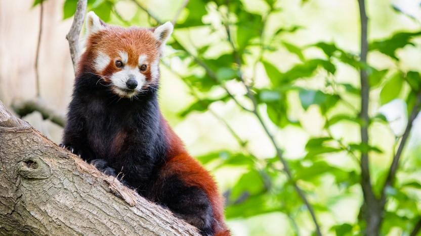 Der Firefox bietet unter Linux nun Hardwarebeschleunigung, das Fedora-Team liefert dies aus.