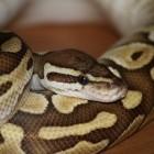 Python: Pypy und die Software Freedom Conservancy trennen sich