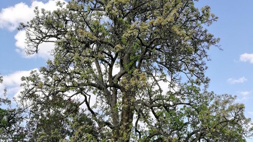 Es ist deprimierend anzusehen, wie stark der alte Birnbaum plötzlich unter der Trockenheit leidet.