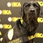 Labrador: Polizeihund kann Speichermedien schnüffeln