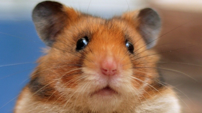 Das Portal XHamster hat einen Hamster im Logo.