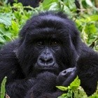 Groovy Gorilla: Ubuntu 20.10 erscheint mit Nftables als Firewall