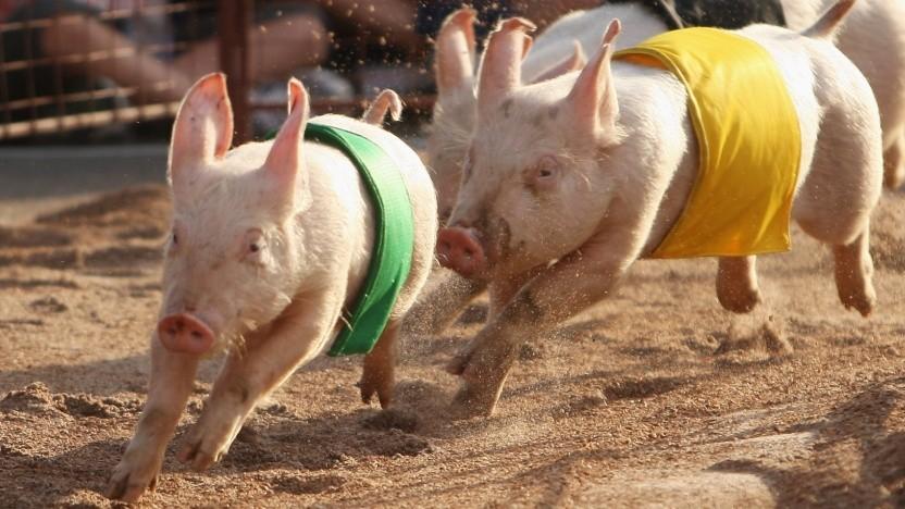Schweine beim Sport