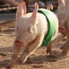 Forschung: Schweine können Computerspiele