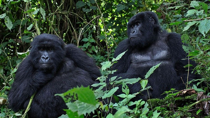 Die Bergorillas in Zentralafrika sind eine gefährdete Tierart.