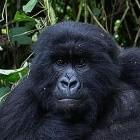 Gamestop: Wallstreetbets rettet Gorillas durch Meme