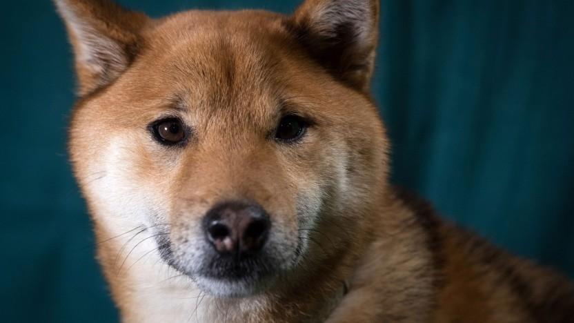 Der japanische Shiba Inu ist das offizielle Maskottchen des Dogecoin.