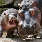 Hirsute Hippo: Ubuntu 21.04 nutzt Wayland und unterstützt Microsoft-Technik