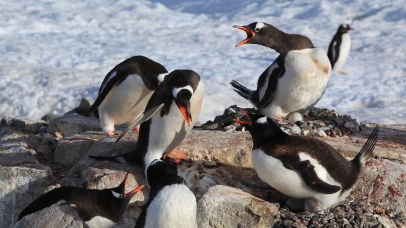 Pinguin fühlt sich angegriffen.