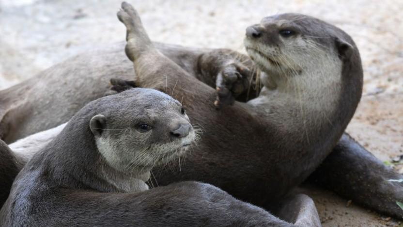 Otter sind die heimlichen Helden der neuen Hot-Tub-Kategorie auf Twitch.