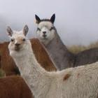 Sicherheitslücke: Alpaca-Angriff zeigt Cross-Protokoll-Schwäche von TLS